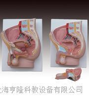 男性矢狀解剖2件 KAH/A331B