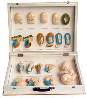 胎兒外形及麵部發生(1盒) KAH5019
