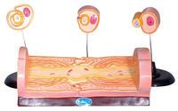 周圍神經纖維髓鞘的發生和有髓纖維的超微結構 KAH5049
