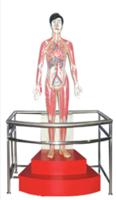 微電腦人體心動周期與大、小循環演示模型