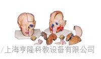 頭解剖附腦模型(10部件) KAH2117-11