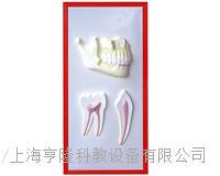 牙列與牙解剖浮雕模型 KAH2079-12