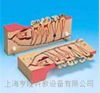 牙分解剖組織模型 KAH/B10007