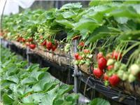 红颜草莓 草莓采摘