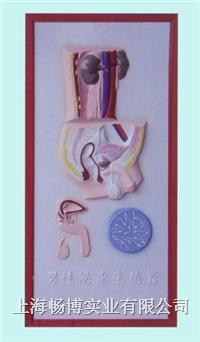 医学浮雕模型 男性泌尿生殖系统浮雕模型