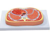 胸腔切面模型 YIM/50007