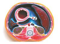 腹腔橫斷模型 YIM/50008