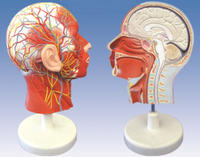 頭部正中矢狀切面附血管神經模型 YIM/18210