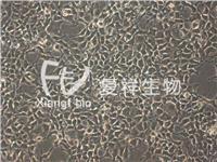 CRL-1573 HEK-293 人胚肾细胞系 HEK-293