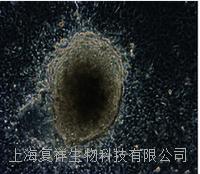 美国Oct4-GFP报告基因小鼠尾端成纤维细胞 PCTTF01