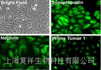 美国Primary Monkey Podocyte 猴原代肾足细胞  PCKDP01